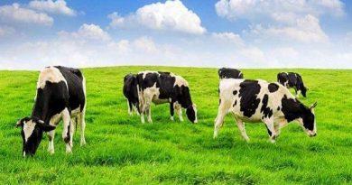 Nằm mơ thấy bò - Giải mã mơ thấy thấy bò đánh xổ số con gì chắc ăn nhất