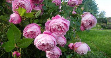 Mơ thấy hoa hồng có ý nghĩa gì?
